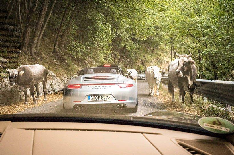 Kühe auf der Straße vor Porsche 911 Targa