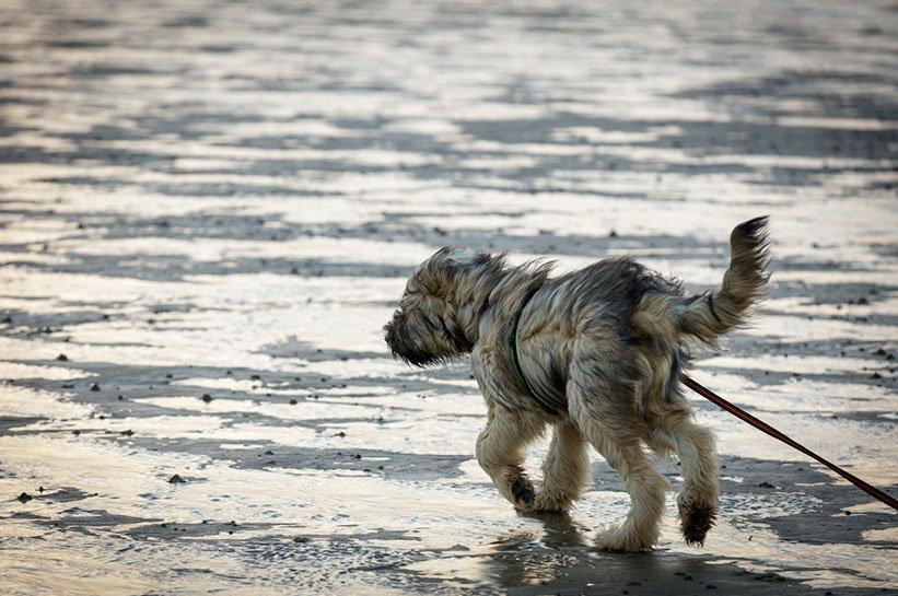 Sylt Hund Silvester