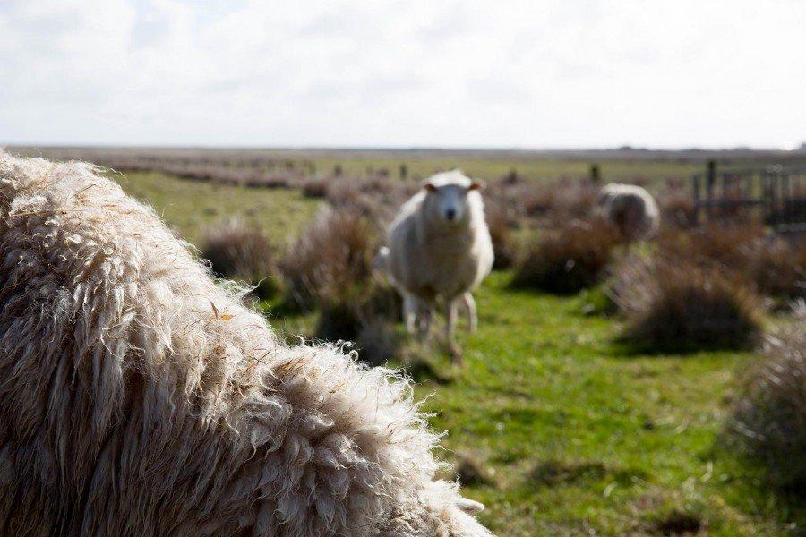Schafe und Lämmer auf Sylt