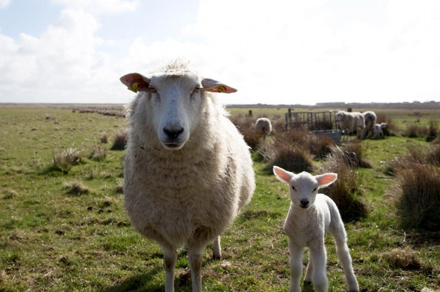 Sylt mit Hund - Rücksicht auf Schafe