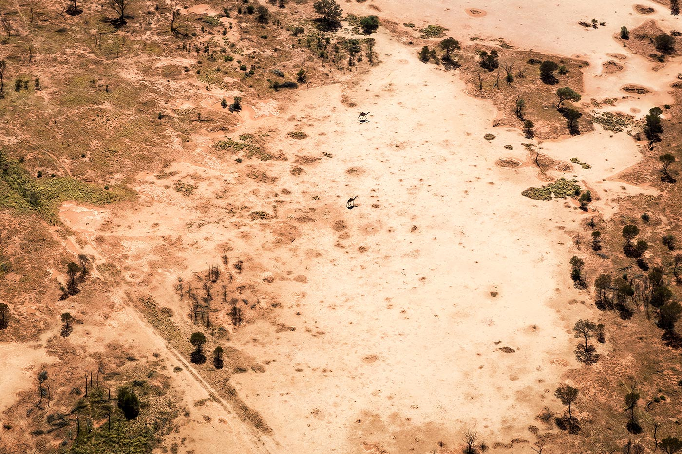Wilde Kamele im Outback.