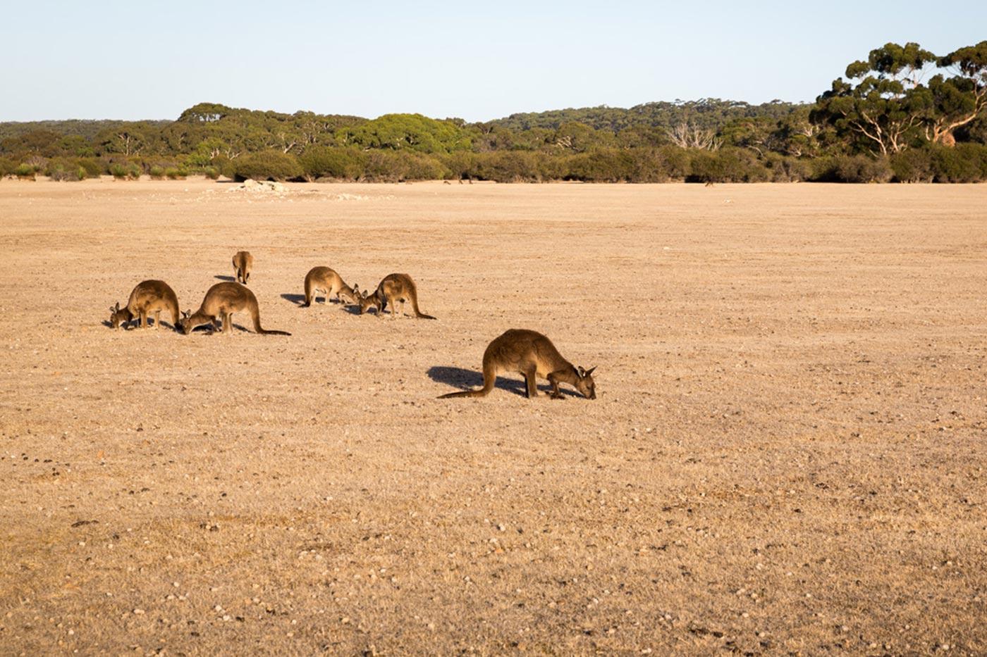Kängurus auf Kangaroo Island