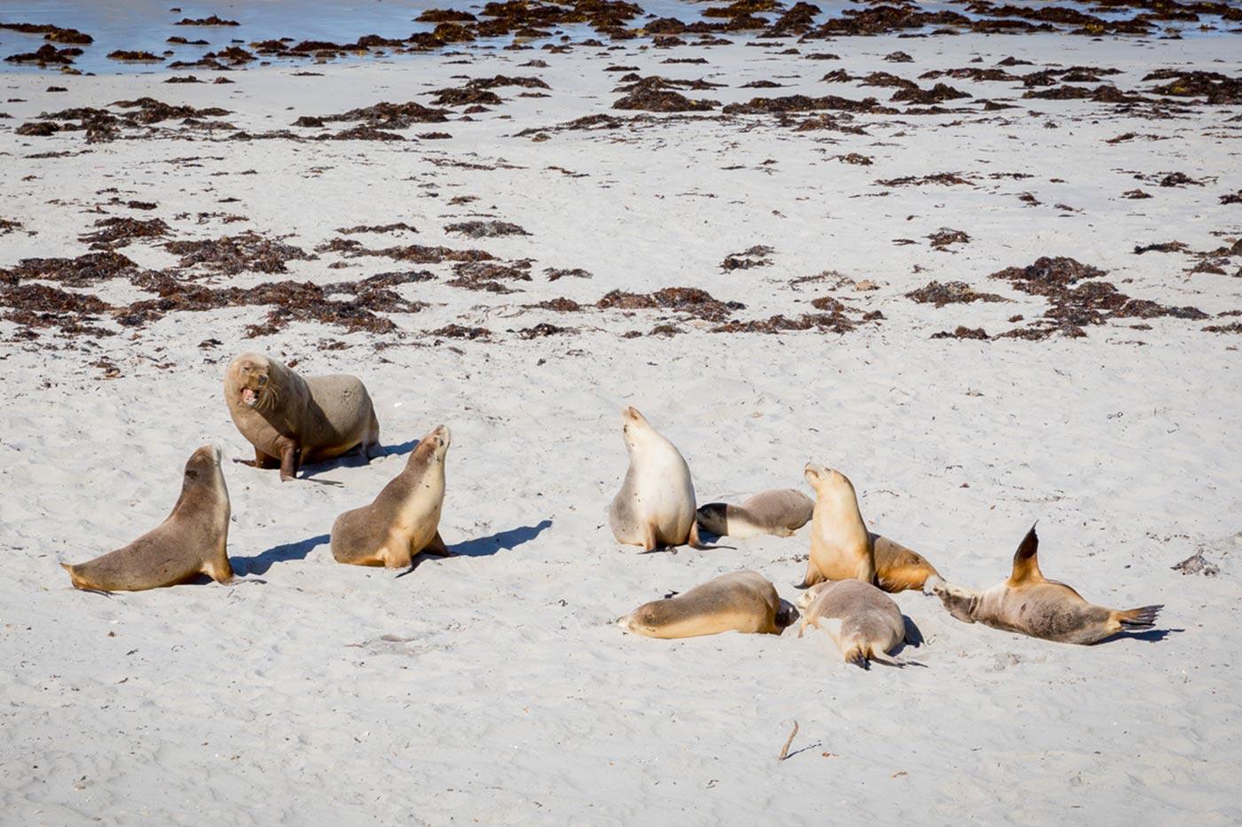 Seals an der Seal Bay auf Kangaroo Island