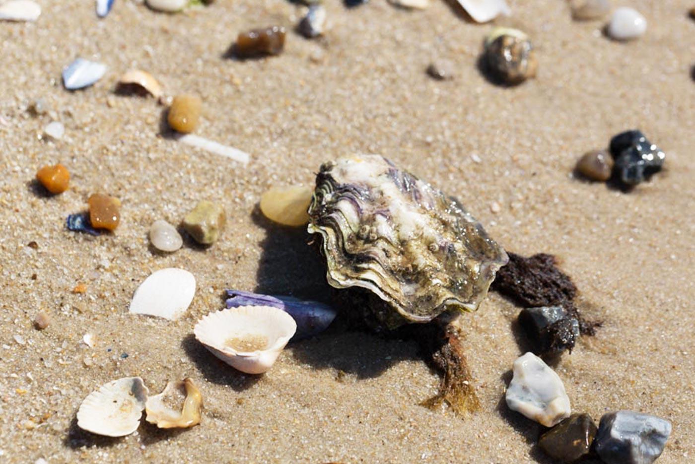 Muscheln und Auster am Ellenbogen