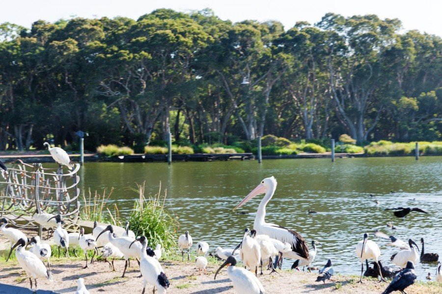 Park in Sydney Vögel