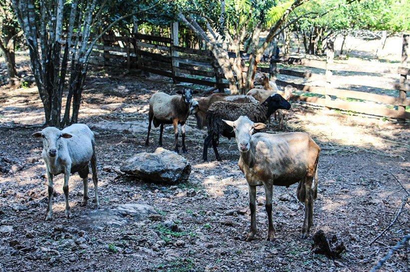 Schafe mexiko