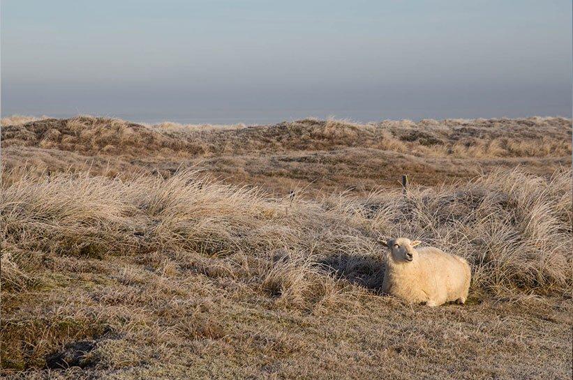 Sylt im November - Schafe