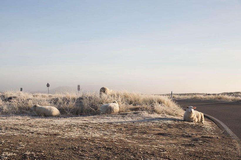 Schafe Nebel Sylt