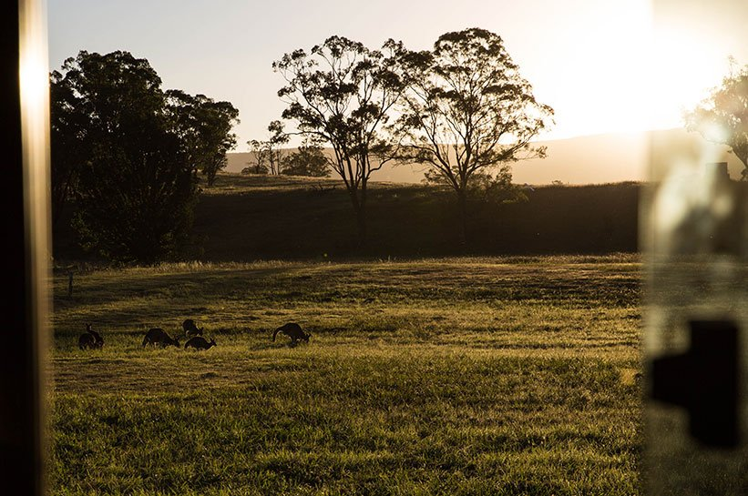 Kängurus im Sonnenuntergang