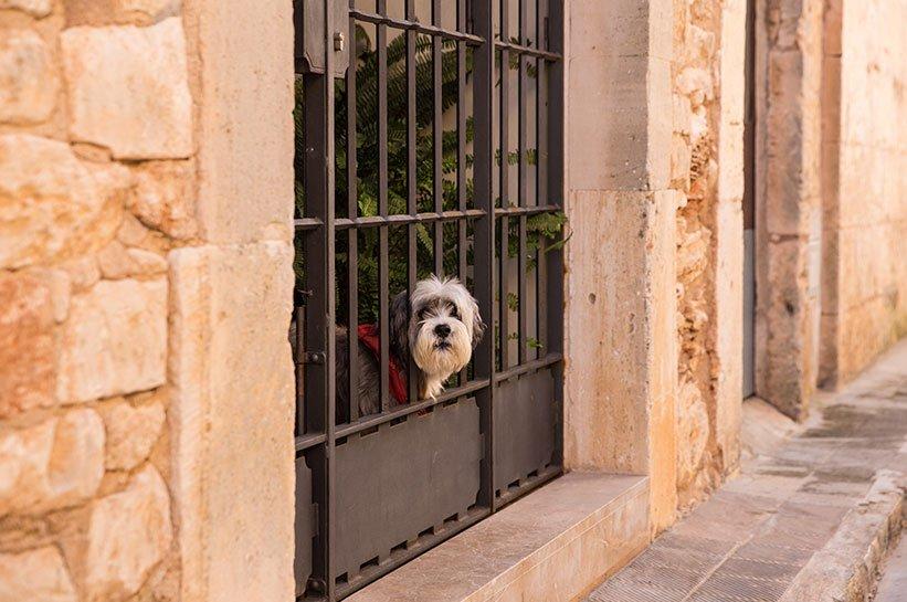 Mallorca im Frühjahr Hund in Santanyi