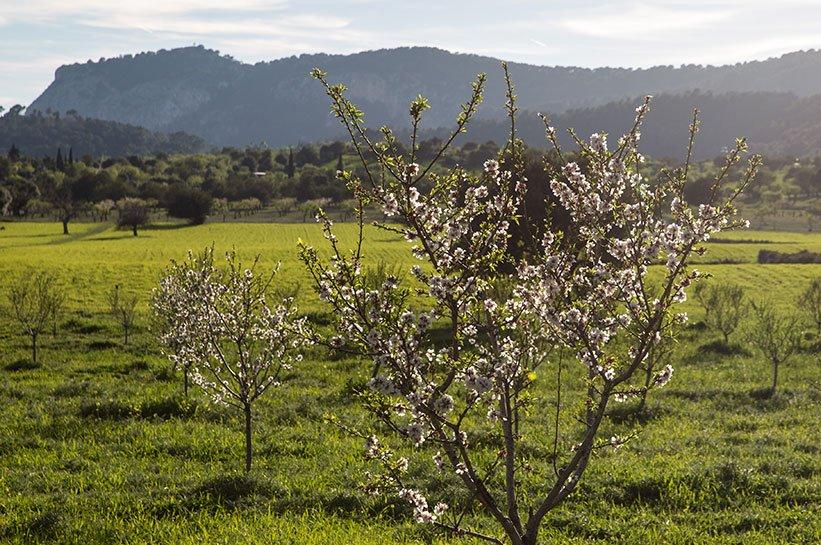 Mallorca im Frühjahr Kirschblüte