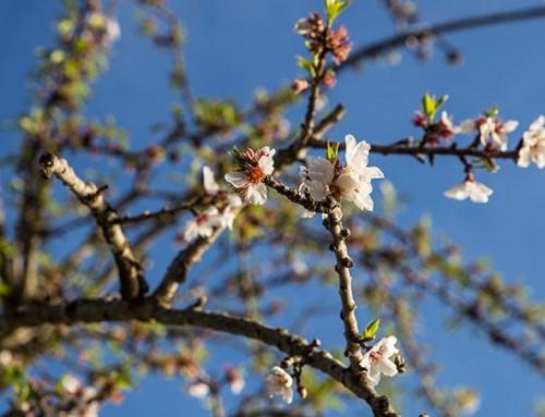 Mallorca im Frühjahr –  die Insel duftet und blüht.