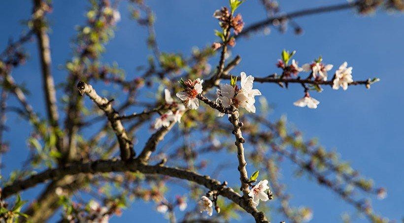 Mallorca im Frühjahr Mandelblüte