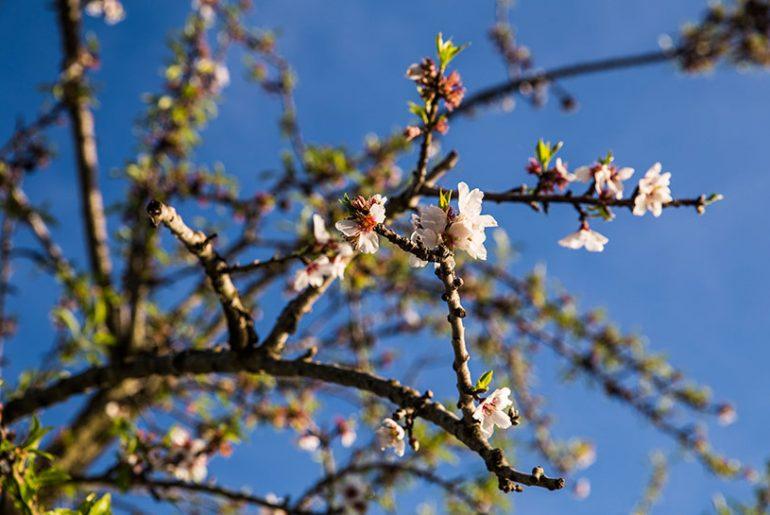Mallorca im Frühjahr Mandelblüte Mallorca in Spring