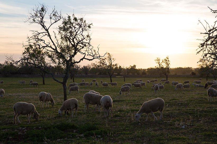 Mallorca im Frühjahr Schafe
