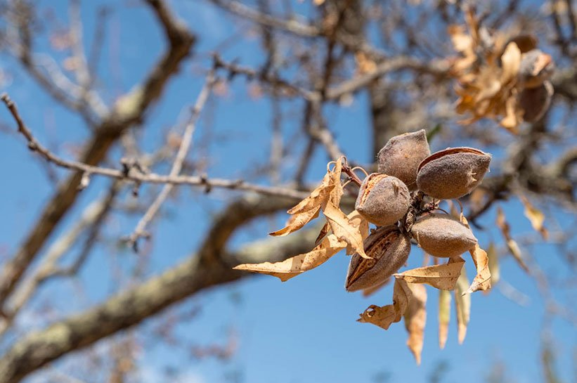 Algarve Mandelbäume