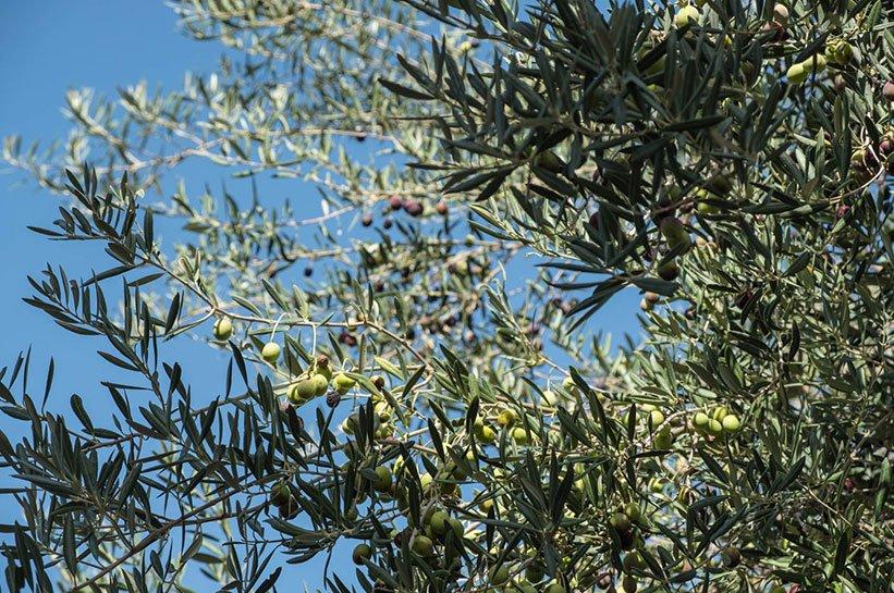 Olivenbäume Algarve im Herbst