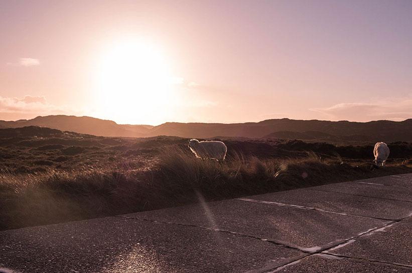 Schafe in List auf Sylt im Sonnenuntergang