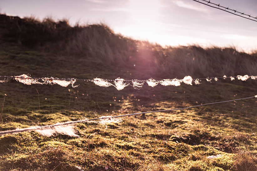 Schafwolle am Zaun am Ellenbogen auf Sylt