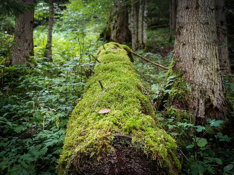 Wald Foto mit Hasselblad X1D geschossen