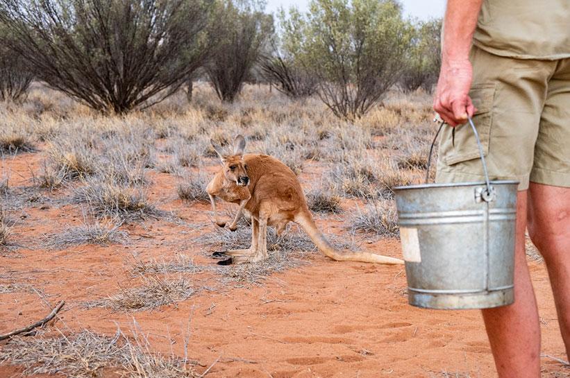Alice Springs Outback Kangaroo