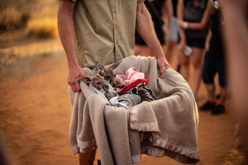 Känguru Babys im Korb im Kangaroo Sanctuary