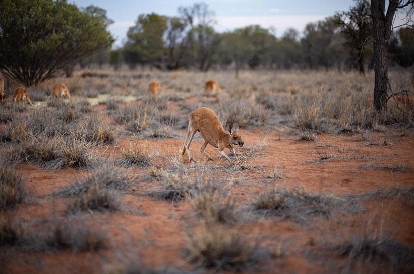 Kängurus Rettungsstation Alice Springs