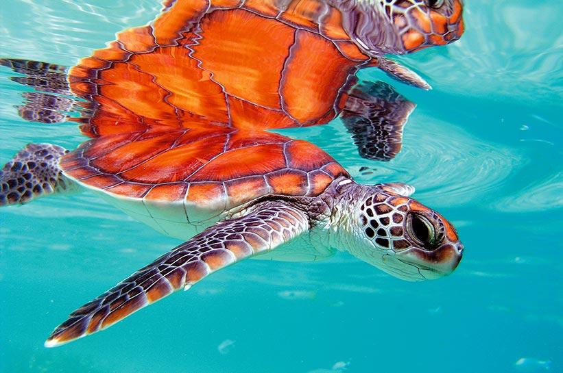 Meeresschildkröte in der Südsee