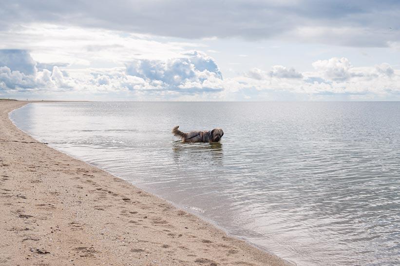 Ellenbogen Sylt Hund an Leine im Wasser