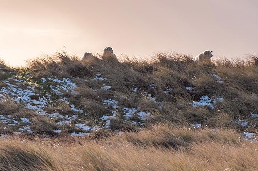 Ellenbogen Sylt - Schafe