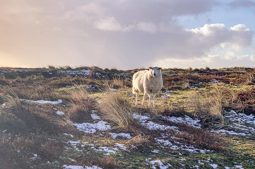 Schafe am Ellenbogen Sylt