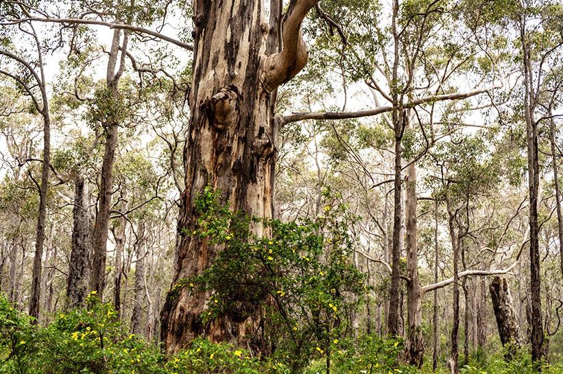 Karri Bäume in Westaustralien
