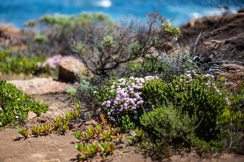 Wildblumen in Westaustralien