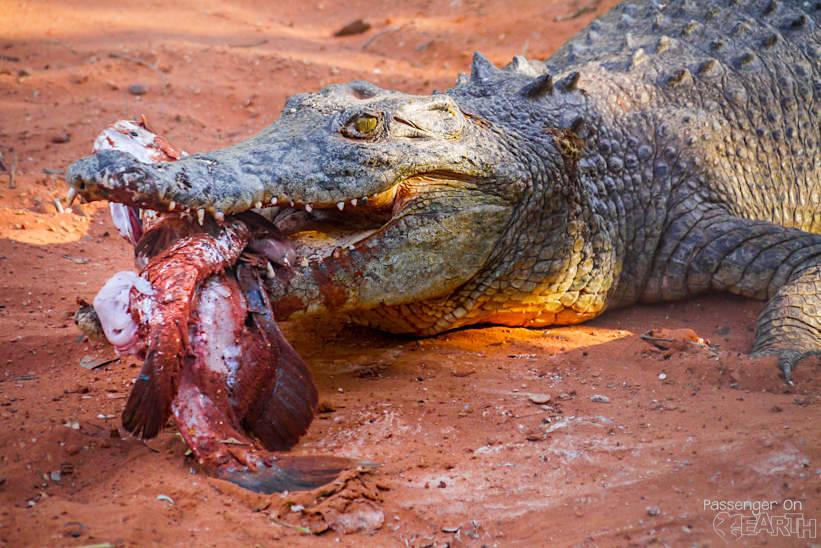 Westaustralien Krokodile