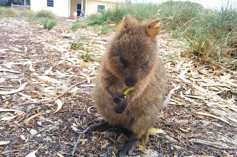 Westaustralien Quokkas