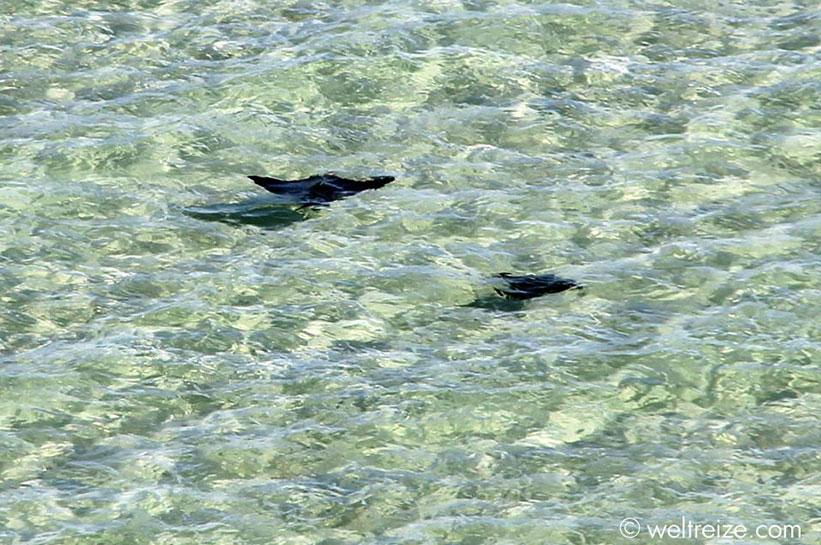 Westaustralien Shark Bay Rochen