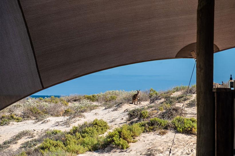 Zelt Känguru Westaustralien