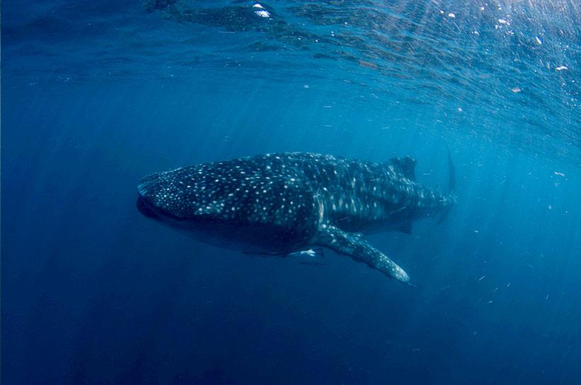 Westaustralien Walhaie