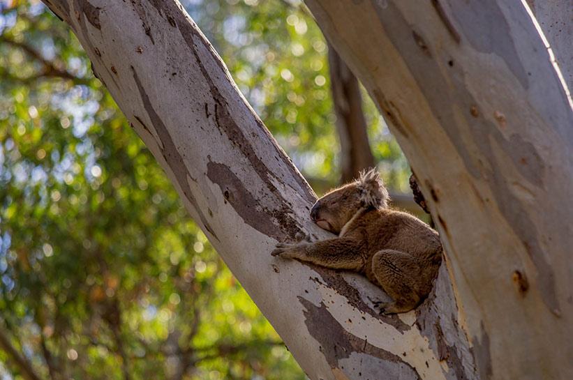 Koala in Südaustralien