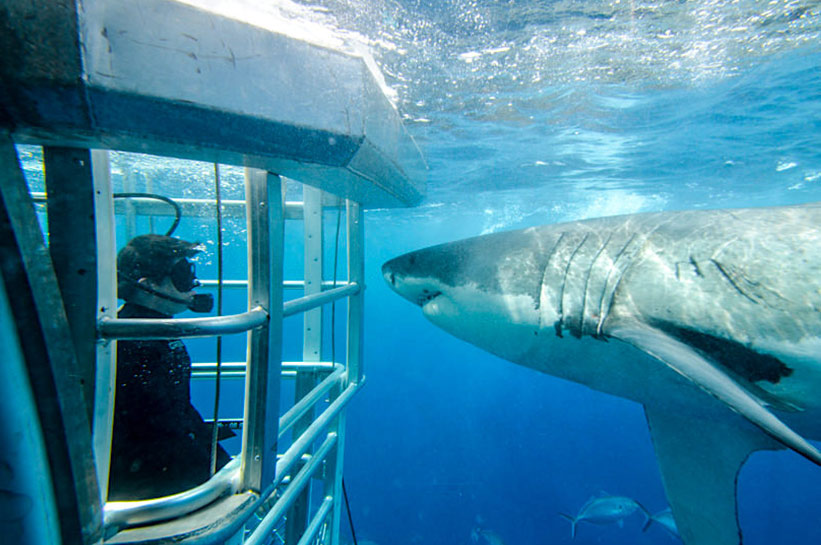 Weisse Haie Tauchen mit Musik