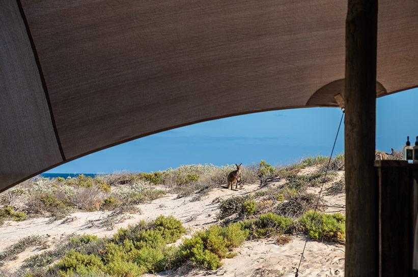 Kängurus am Ningaloo Reef im Sal Salis / Kangaroo Sal Salis