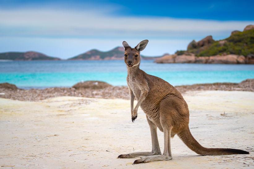 Australien Sehenswertes - Känguru am Strand