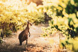 Australischer Wein - Weinberg in Südaustralien