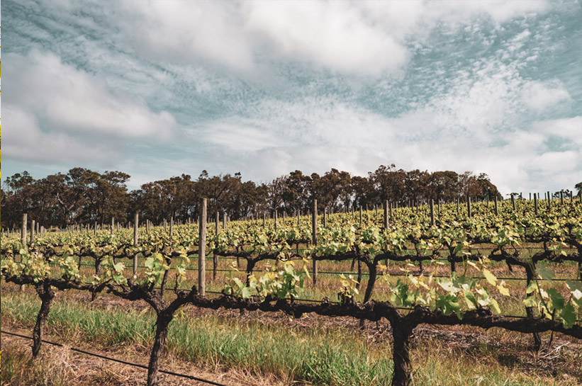 Weinreben in Australien